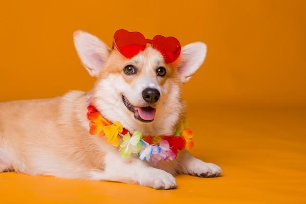 Corgi pies w okularach przeciwsłonecznych i hawajskich koralikach na żółtym tle
