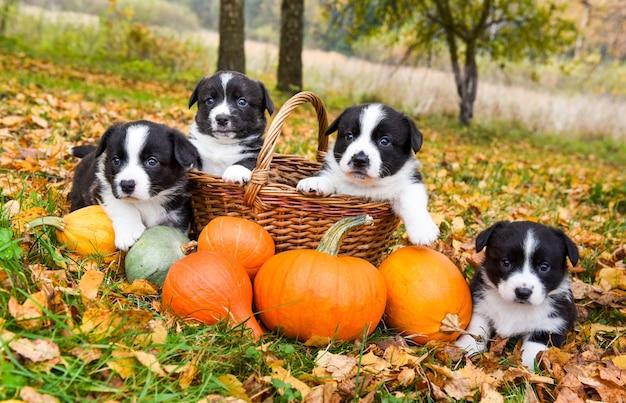 Corgi szczenięta psy z dynią na tle jesieni