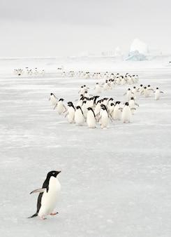 Coroczna migracja pingwina adélie na antarktydzie