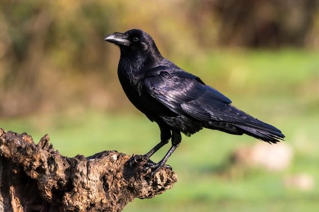 Corvus corax, kruk