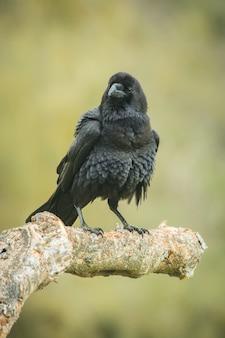 Corvus corax raven