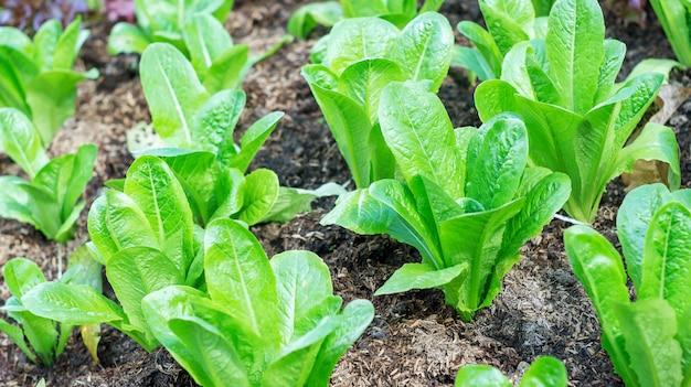 Cos sałata w ogrodzie warzywnym.