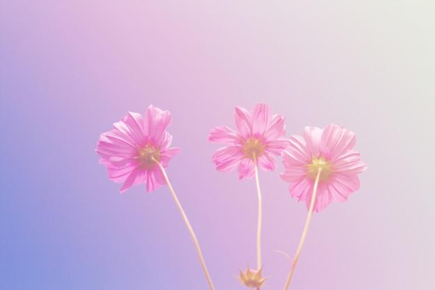 Cosmos piękno kwiatów