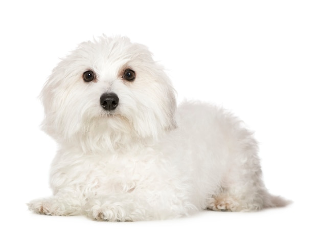 Coton de tulear z 1 rokiem. portret psa na białym tle