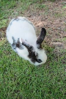 Cottontail królika królika łasowania trawa w ogródzie