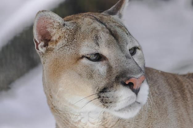 Cougar patrzy w prawo
