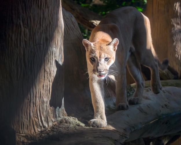 Cougar, puma, mountain lion, w naturalnej atmosferze zoo.