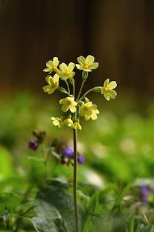 Cowslip (primula veris) kwiat. piękny kwiat wiosny