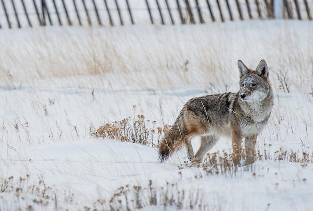 Coyote polowanie na zimę