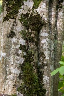 Cracked rough green bark tree z mchu