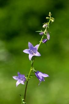 Creeping bellflower (campanula rapunculoides), kwiat w kształcie dzwonu rosnący w ogrodzie kwiatowym, zbliżenie, selektywna ostrość.