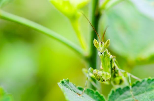 Creobroter gemmatus, modliszka z klejnotami lub modliszka z kwiatów indyjskich na liściu rośliny