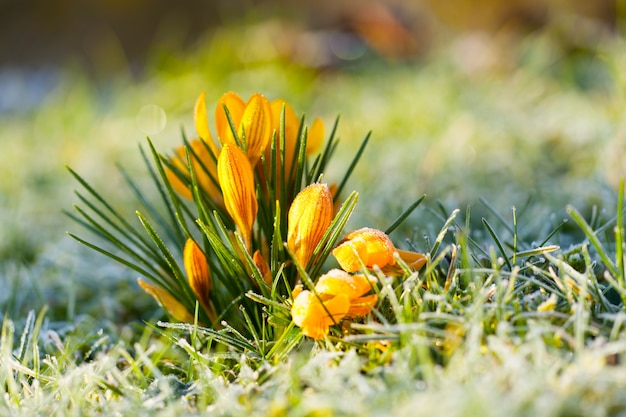 Crocus yellow in morning frost