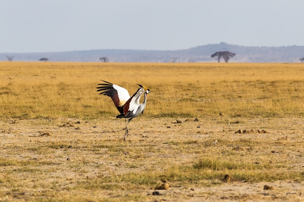 Crone żuraw taniec na sawannie amboseli kenia