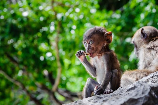 Cub macaca fascicularis siedzi na skale i je. dziecko małpy na phi phi wyspach, tajlandia