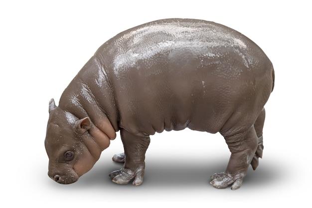 Cub z małego hipopotama jest izolowany na białym tle