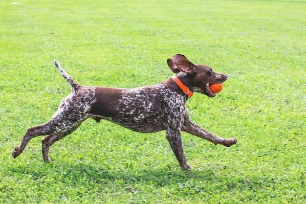 Cudowny, młody pies rasy wyżeł niemiecki krótkowłosy biegnący po trawie z piłką w zębach