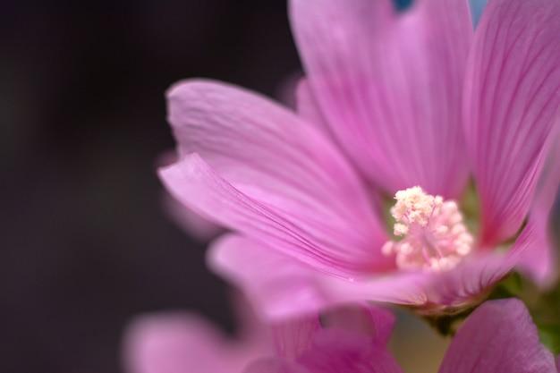 Cudowny różowy kwiat. zbliżenie malva. naturalna koncepcja