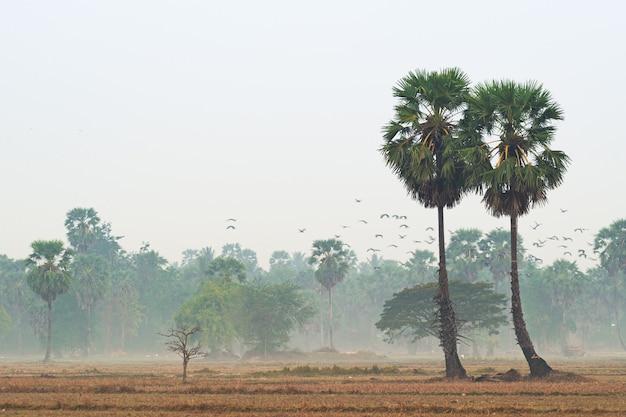 Cukrowa palma w polu w ranku