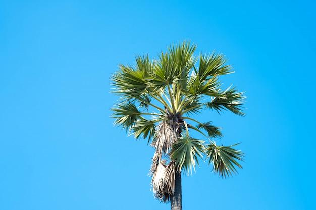 Cukrowi drzewka palmowe z niebieskim niebem w lecie.