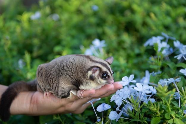 Cukrowy szybowiec wącha błękitne fiołkowe kwiaty w zieleni ogródzie nad żeńską właściciela ręką