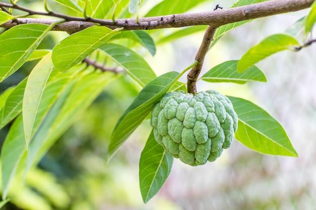Custard apple fruit wiszące na gałęzi drzewa, budyń jabłoni w ogrodzie