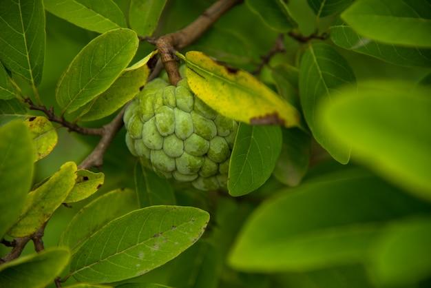Custard jabłka r na drzewie