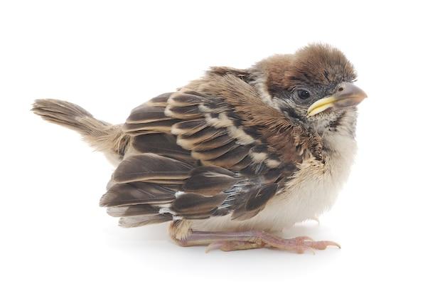 Cute baby house sparrow na białym tle