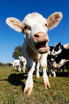 Cute baby krowa na polach uprawnych w lecie