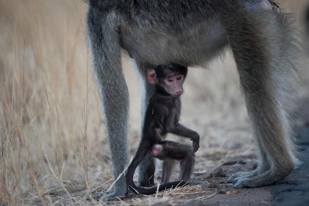 Cute baby małpa bawi się z matką w polu