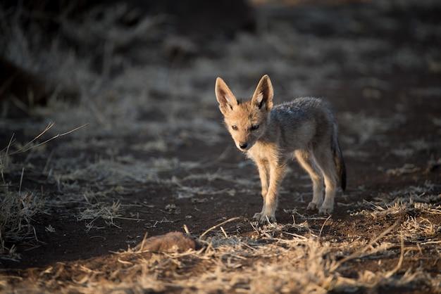 Cute baby szakal spaceru samotnie w polu krzaków z niewyraźne tło