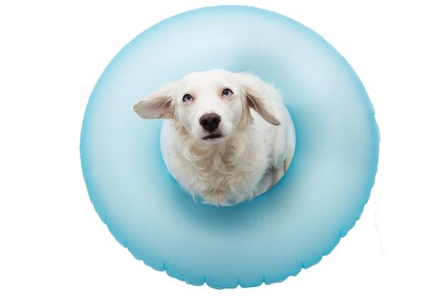 Cute dog summer vacations. puppy sunbathing z blue air float pool. odosobniony