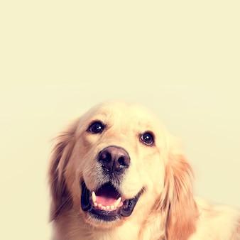 Cute golden retriever dog.