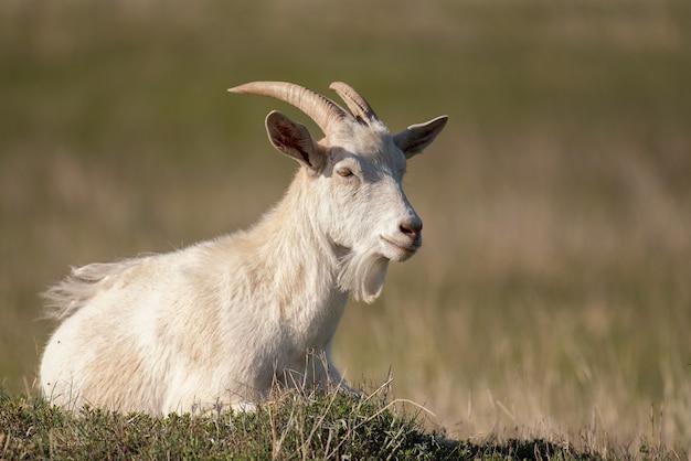 Cute owiec na zielonym pastwisku na wsi