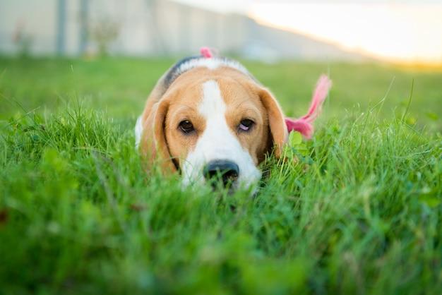 Cute portret beagle