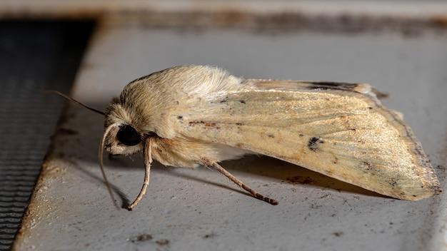 Cutworm moth z rodzaju helicoverpa