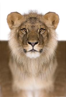 Cyfrowo wzmocniony lew, panthera leo, odizolowany