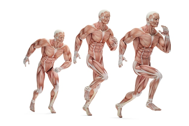 Cykl pracy. 3d anatomiczne ilustracja. odosobniony. zawiera ścieżkę przycinającą