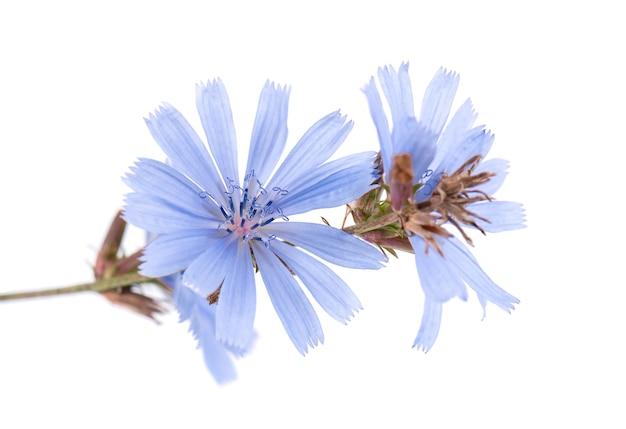 Cykoria kwiat na białym tle cichorium intybus