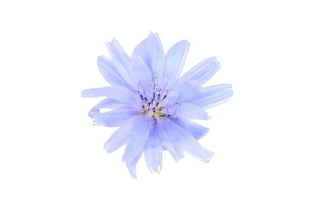 Cykoria niebieski kwiat roślina na białym tle