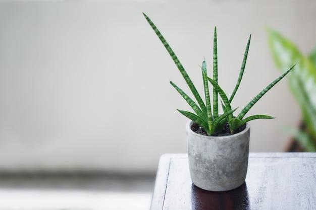 Cylindryczna roślina węża w doniczce
