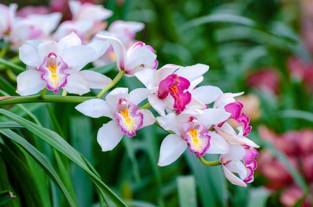 Cymbidium sp różowe i białe kwiaty orchidei