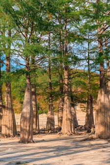 Cyprysy z grubymi pniami na jeziorze sukko w południowej rosji. podróż i turystyka.