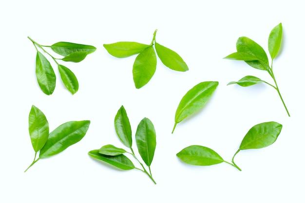 Cytrusów liście na białym tle.