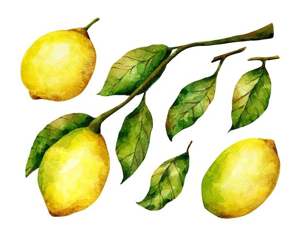 Cytryna akwarela ilustracje gałąź owoców cytrusowych liście na białym tle cytryna zestaw clipart