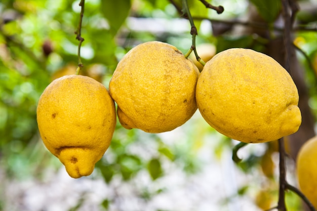 Cytryna na drzewie w costiera amalfitana, typowa włoska lokalizacja dla tego owocu