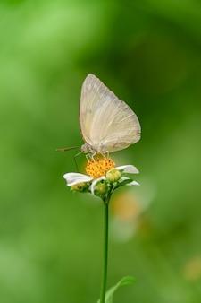 Cytrynowy emigrancki żółty motyl na białym kwiacie