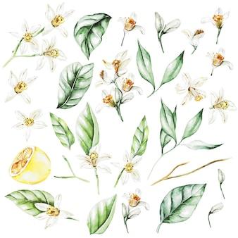 Cytryny, kwiaty i liście. owoce w stylu przypominającym akwarele. ilustracja