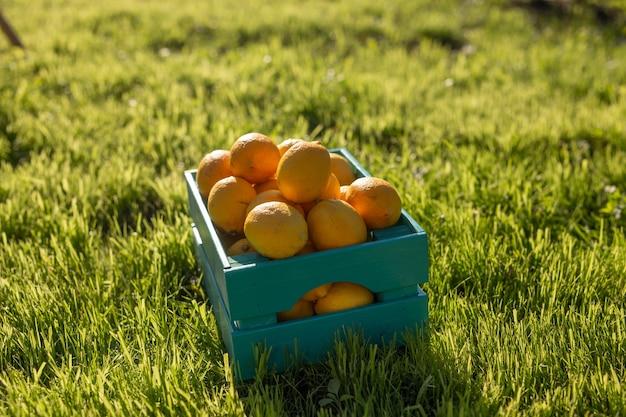 Cytryny leżą w niebieskim drewnianym pudełku na zielonej trawie oświetlonej światłem słonecznym. koncepcja zbioru własnego ogrodu warzywnego