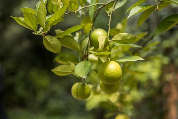 Cytryny na gałęzi drzewa cytrynowego